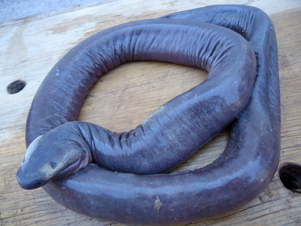 caecilian haiwan aneh amfibia