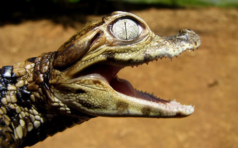 caiman salah satu makanan anaconda