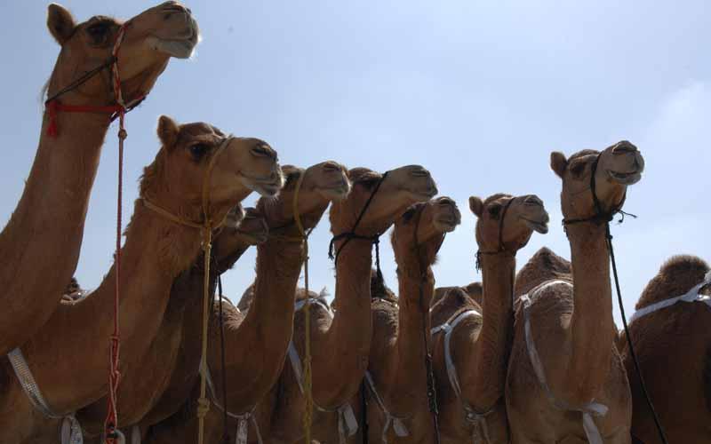 camel 3 820