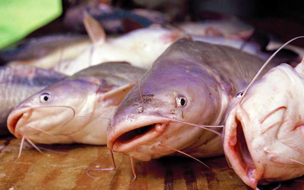 cara bunuh ikan keli sembilang