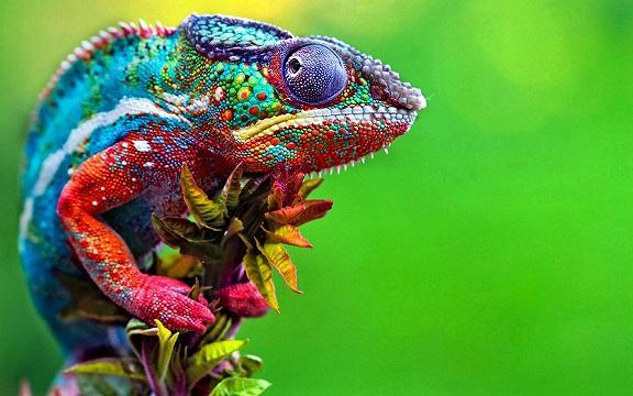 chameleon 943