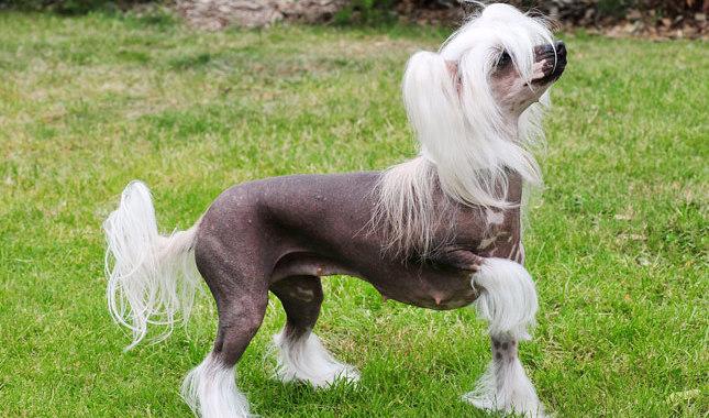 chinese crested dog memiliki bulu yang unik berbanding anjing yang lain
