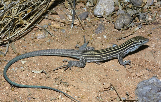 cicak new mexico whiptail