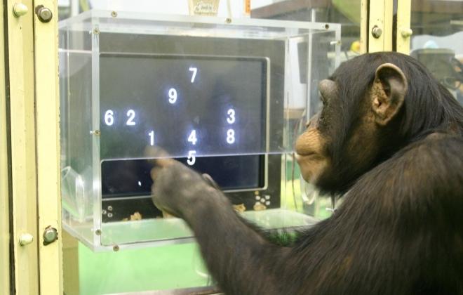 cimpanzi bijak