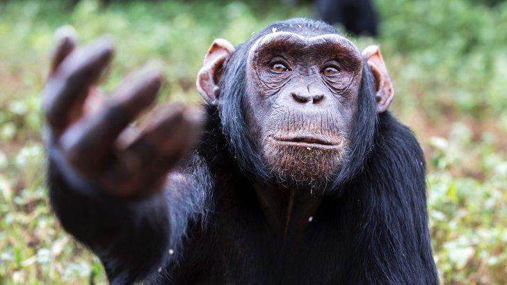 cimpanzi main osom gunting batu kertas 2