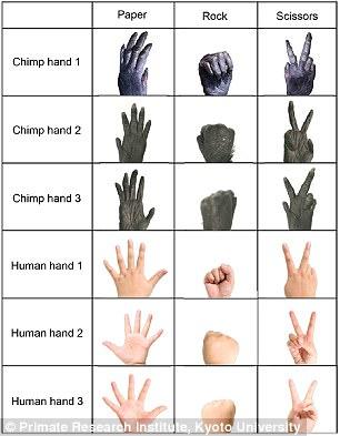 cimpanzi main osom gunting batu kertas 4