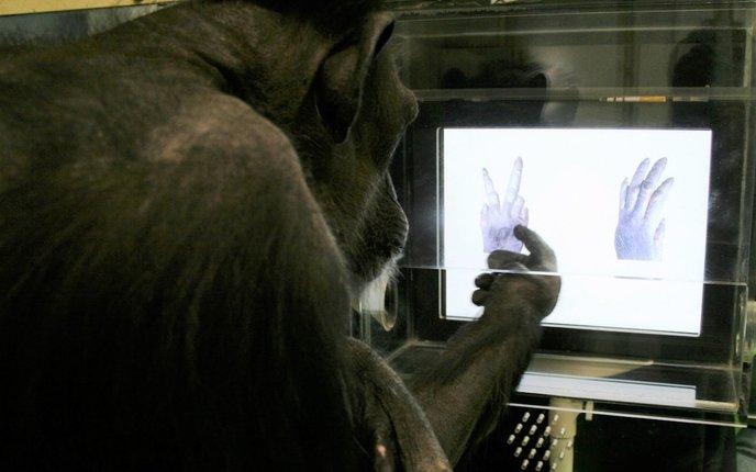 cimpanzi main osom gunting batu kertas