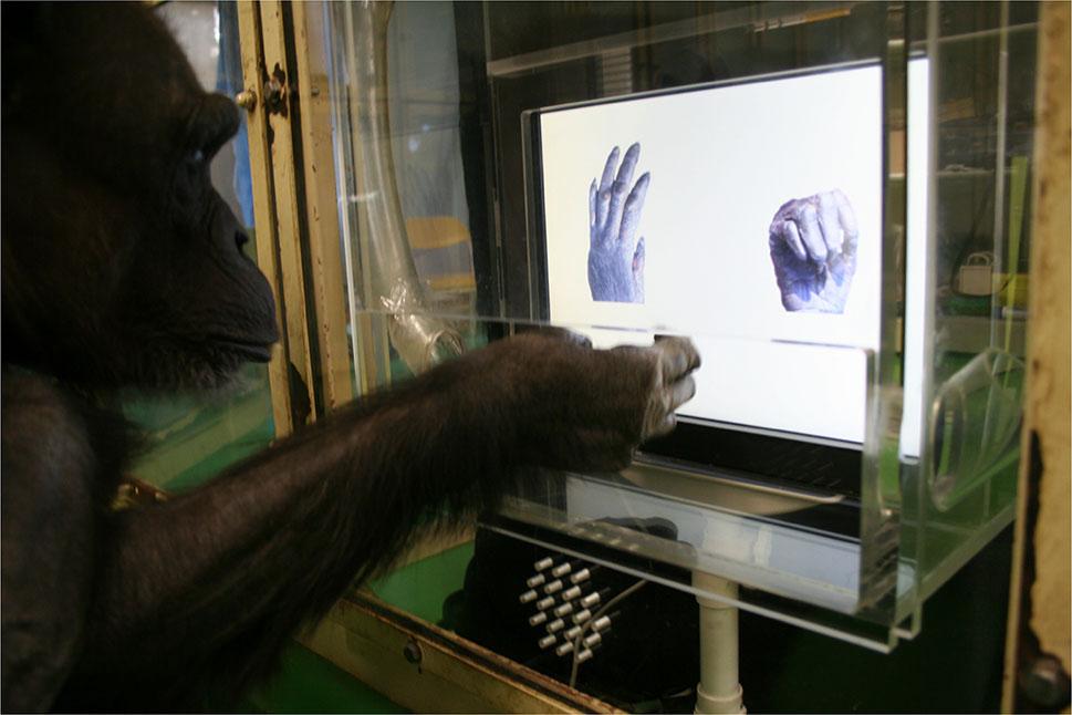 cimpanzi main osom