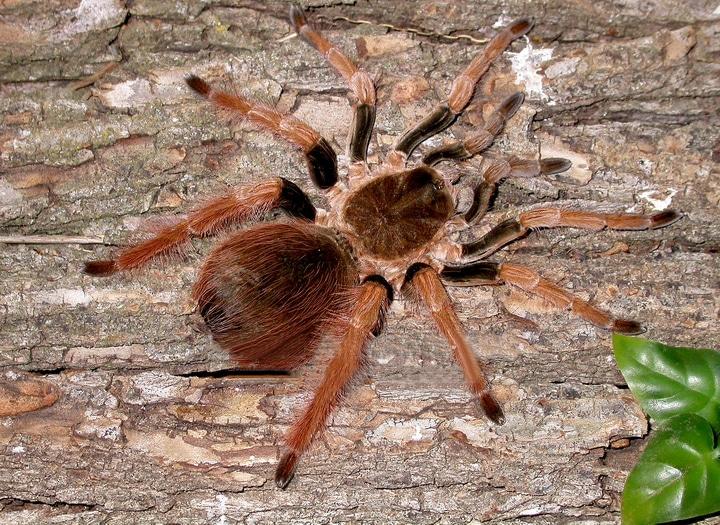 colombian giant black tarantula labah labah paling besar di dunia