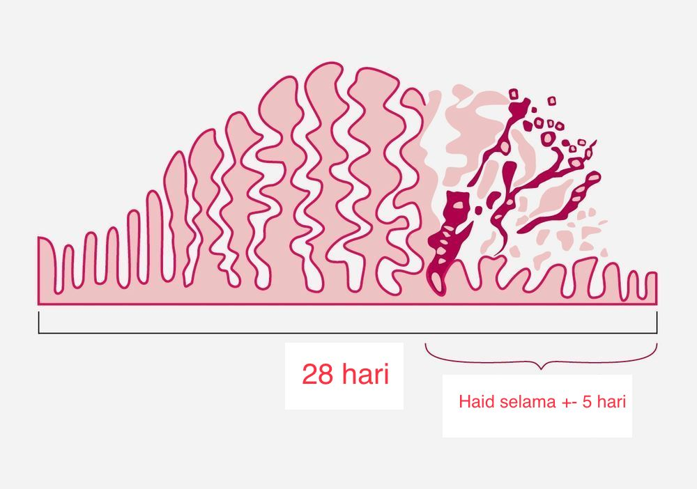 contoh anatomi rahim ketika period