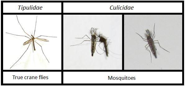 crane fly dan nyamuk