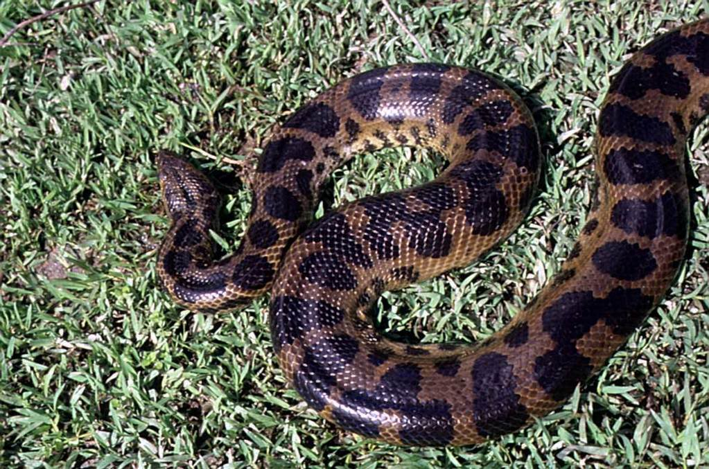 dark spotted anaconda