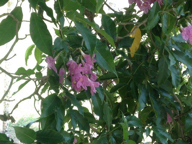 daun batang dan bunga tekoma
