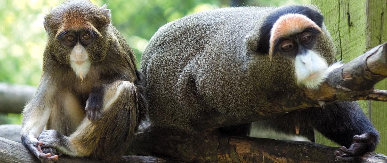 de brazza s monkeymemiliki perwatakan yang mencuit hati