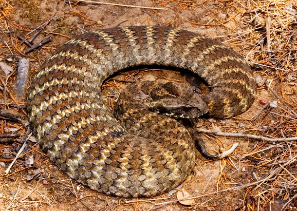 death adder ular paling berbisa di dunia