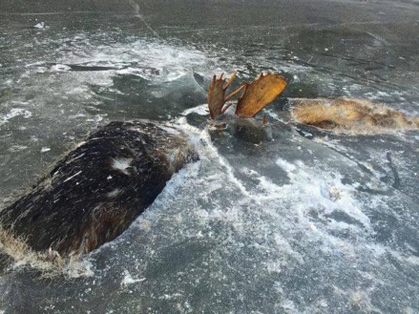 dua ekor moose mati sejuk beku sedang bertarung