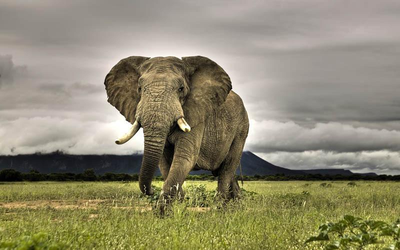 gajah belukar afrika haiwan paling besar di dunia