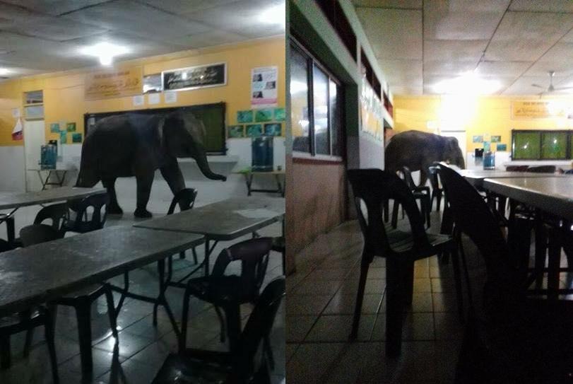 gajah sesat berkeliaran cari makanan di kantin smk telupid sabah default