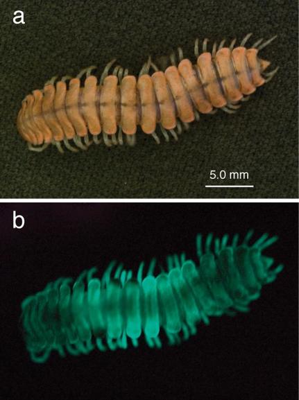 genus motyxia