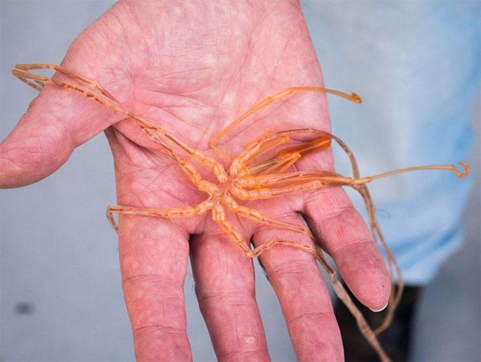 giant anemone sucking sea spiders 12 makhluk dasar laut yang sangat pelik dan dahsyat