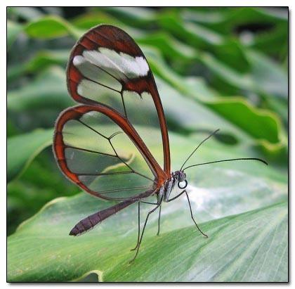 glasswing butterfly 99