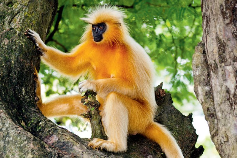 golden langur di india