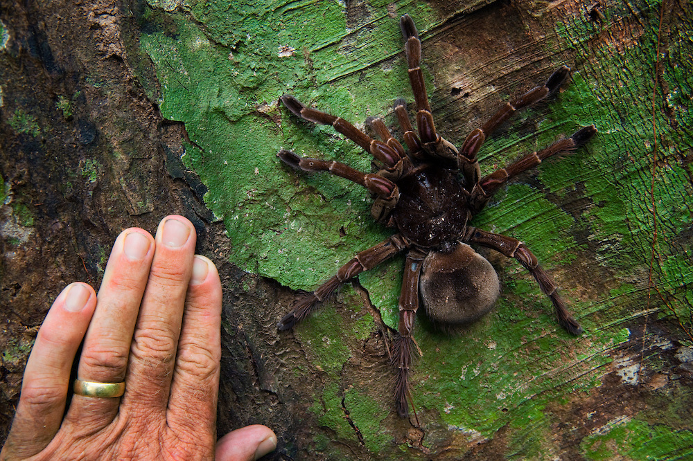 goliath bird eating tarantula labah labah paling besar di dunia