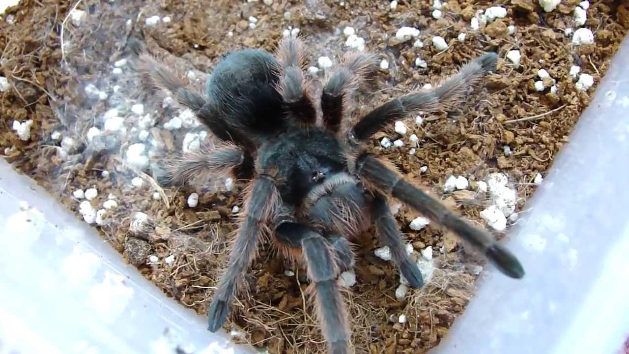 grammostola anthracina labah labah paling besar di dunia 2