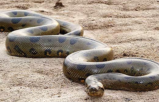 green anaconda haiwan paling besar di dunia 2