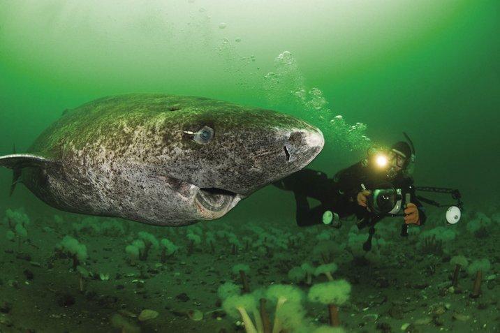 greenland sharks makhluk paling panjang usia