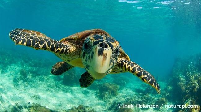 hawksbill turtle 2