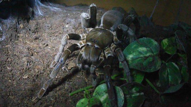 hercules baboon spider labah labah paling besar di dunia