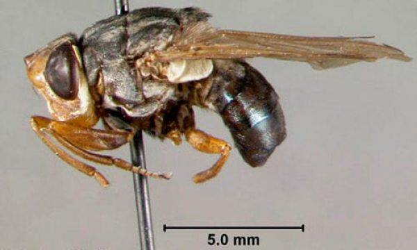 human botfly serangga paling berbisa di dunia