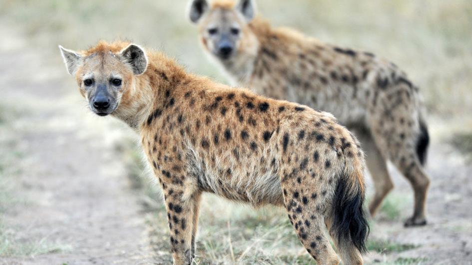 hyena bertompok afrika