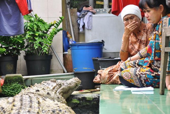 ibu irwan sedih kerana kojek buaya peliharaan harus dipindahkan ke taman safari