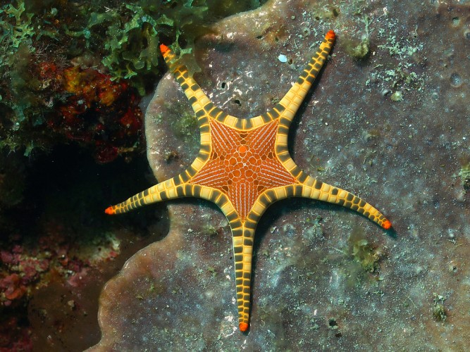 icon starfish