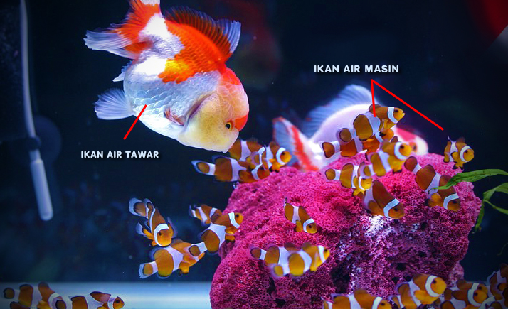 ikan air tawar dan ikan air masin dicampur bersama akuarium