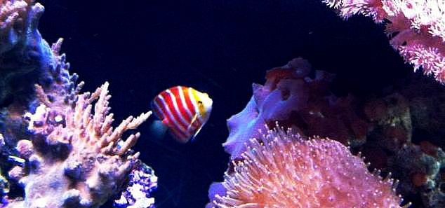 ikan angelfish peppermint ikan tropika paling mahal di dunia 3 292