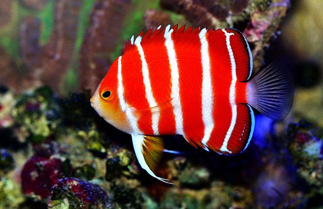 ikan angelfish peppermint ikan tropika paling mahal di dunia 600