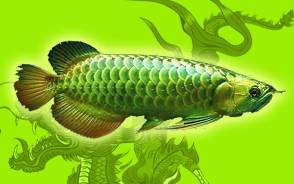 Ikan Cupang Warna Hijau