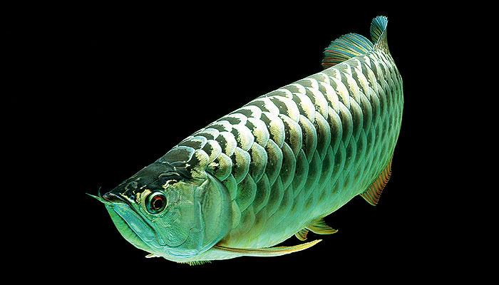 ikan arowana platinum ikan tropika paling mahal di dunia 2 622