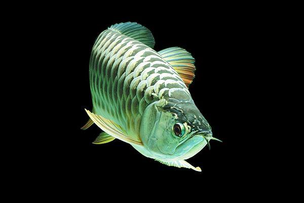 ikan arowana platinum ikan tropika paling mahal di dunia 855
