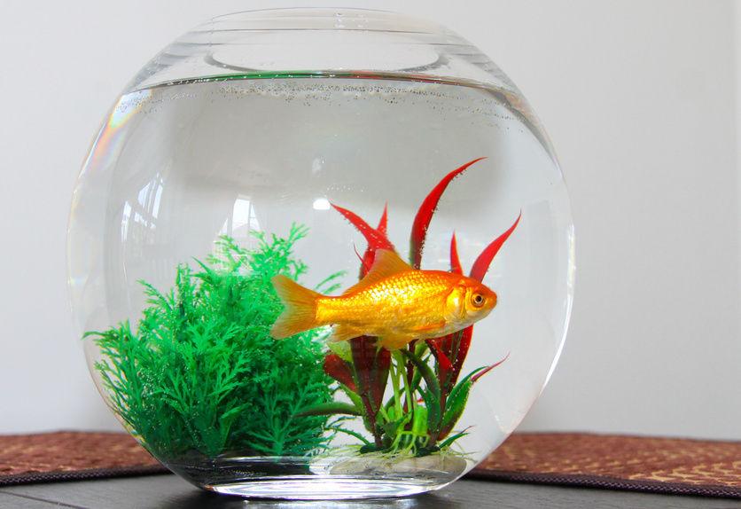 ikan emas dalam bekas