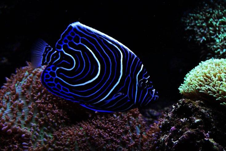 ikan emperor angel antara ikan paling cantik di dunia 792