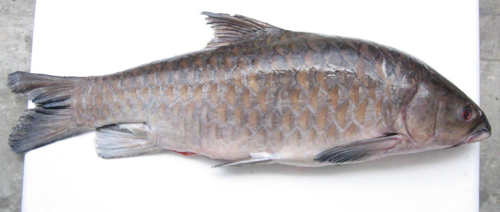 ikan empurau ikan kelah raja sungai wan bu liao