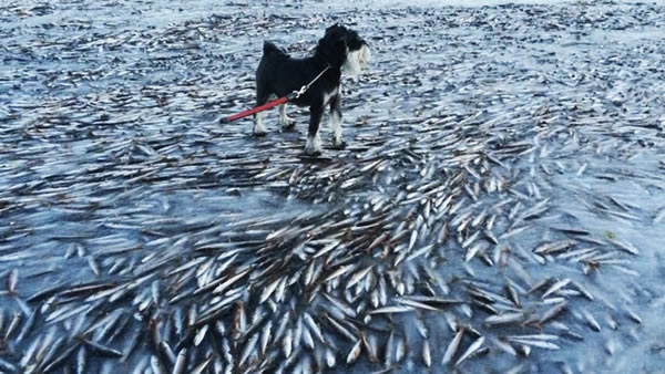 ikan hering mati sejuk beku