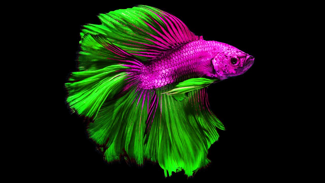 ikan karin ikan air tawar paling cantik 408