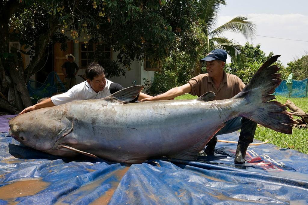 ikan keli gergasi mekong ikan paling besar pernah ditangkap oleh manusia 149