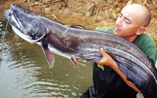 ikan keli sembilang gergasi