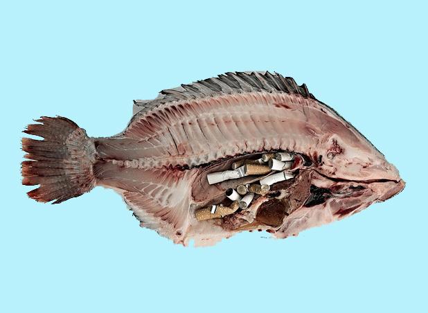 ikan makan putung rokok